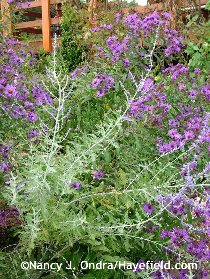 Russian sage (Perovskia) with 'Hella Lacy' New England aster (Symphyotrichum novae-angliae) at Hayefield.com