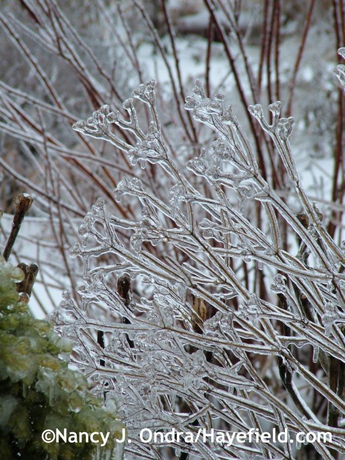 Patrinia scabiosifolia on ice at Hayefield.com