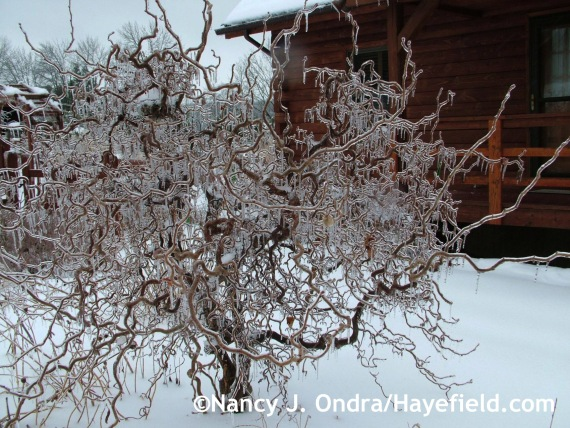 Corylus avellana 'Red Majestic' on ice at Hayefield.com
