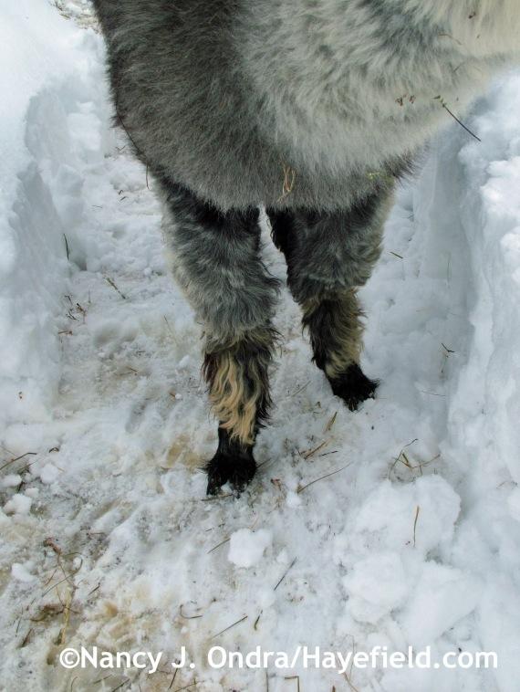 Alpaca feet! Duncan at Hayefield.com