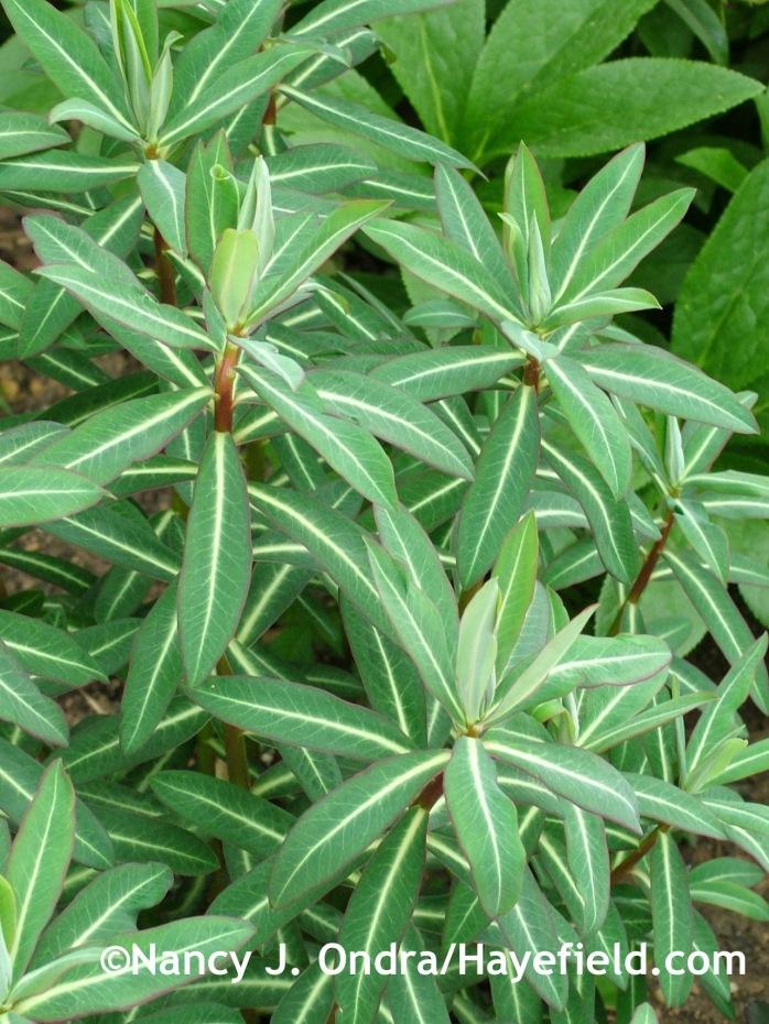 Euphorbia 'Excalibur' at Hayefield.com