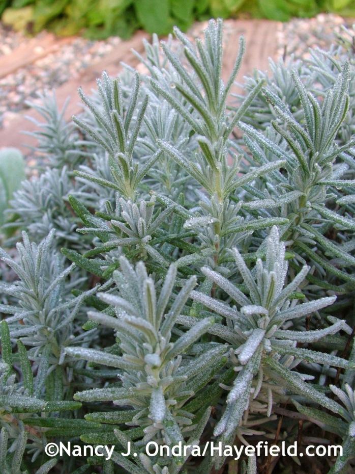 Lavandula angustifolia at Hayefield.com