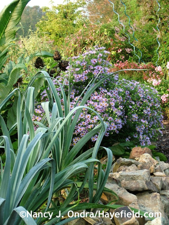 Leek 'Blue Solaize' with Symphyotrichum oblongifolium at Hayefield.com