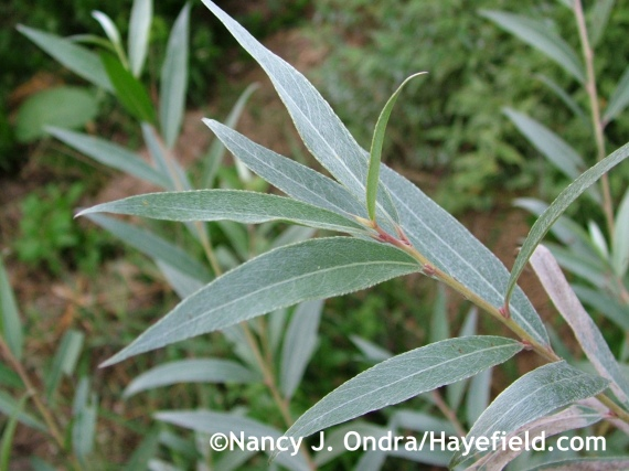 Salix alba var. sericea at Hayefield.com