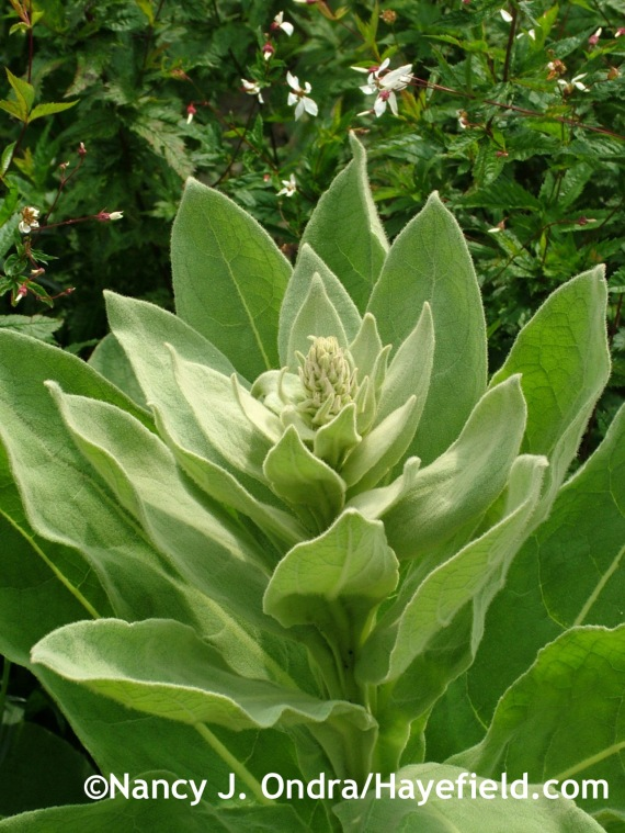 Verbascum thapsus at Hayefield.com
