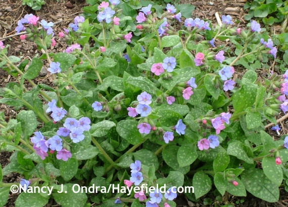 Pulmonaria saccharata 'Mrs. Moon' at Hayefield.com