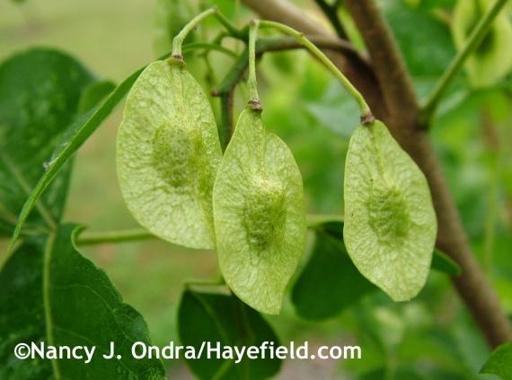 Ptelea trifoliata 'Aurea' seeds at Hayefield.com