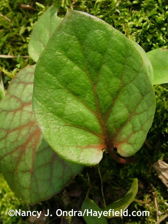 Cardiocrinum cordatum leaf at Hayefield.com