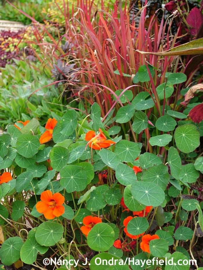 Tropaeolum majus (nasturtium) at Hayefield.com