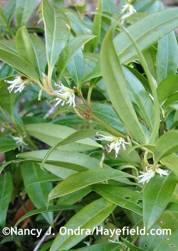 Sarcococca hookeriana var. humilis at Hayefield.com