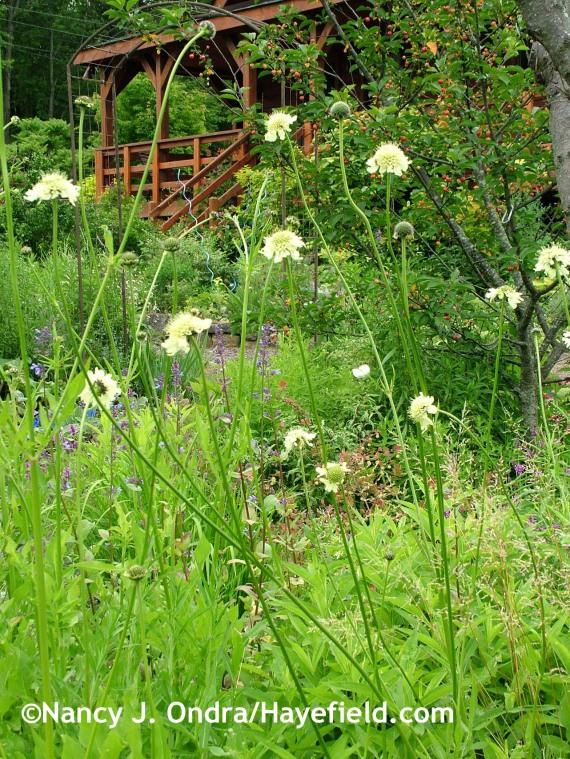 Cephalaria gigantea at Hayefield.com