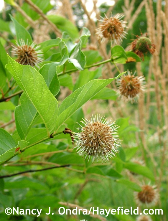 Cephalanthus occidentalis at Hayefield.com