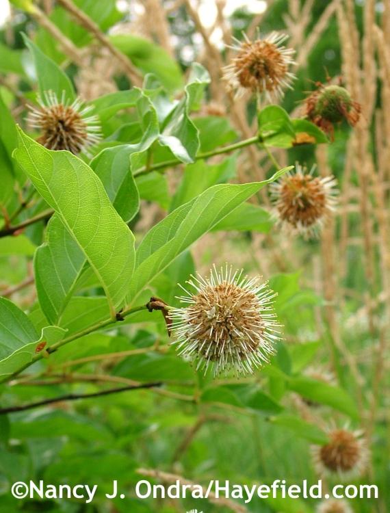 Cephalanthus occidentalis at Hayefield.com