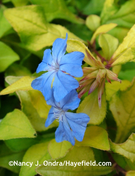 Ceratostigma willmottianum 'My Love' at Hayefield.com