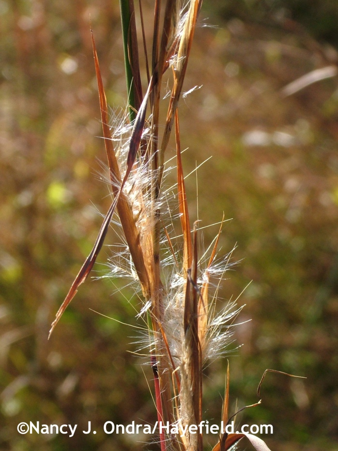 Andropogon virginicus at Hayefield.com