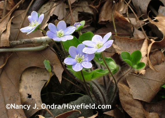 Hepatica americana at Hayefield.com