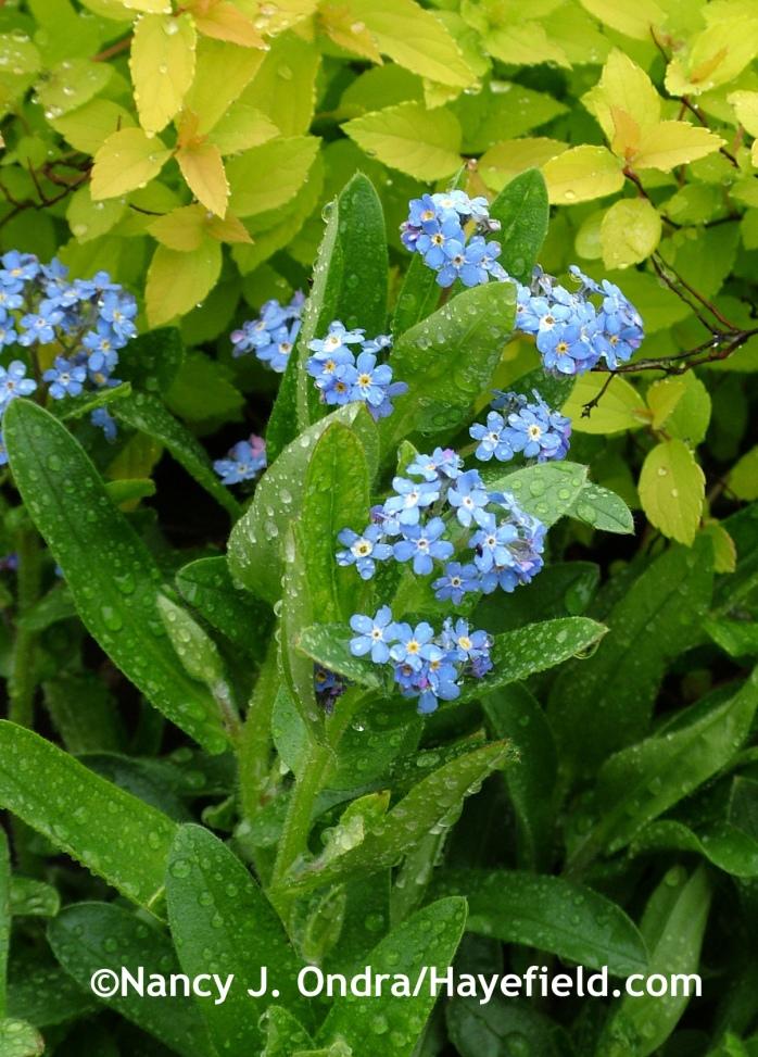 Myosotis sylvatica 'Ultrmarine' at Hayefield.com