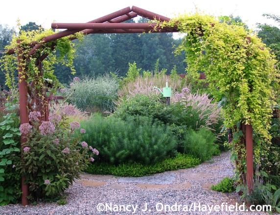 Courtyard arbor with Fallopia 'Lemon Lace' framing Eutrochium maculatum, Amsonia hubrichtii, Sedum rupestre 'Angelina', and Pennisetum orientale 'Karley Rose' at Hayefield.com