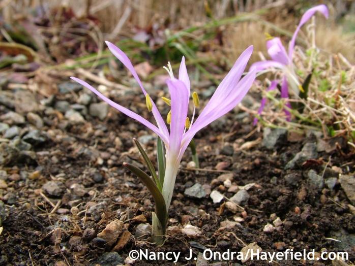 Bulbocodium vernum at Hayefield.com