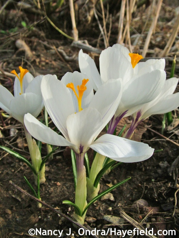 Dutch Crocus 'Jeanne d'Arc' at Hayefield.com