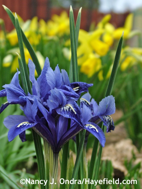 Iris reticulata 'Harmony' at Hayefield.com