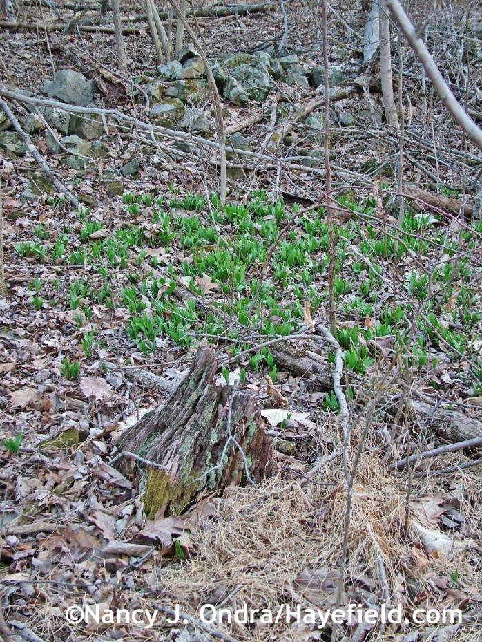 Allium tricoccum (ramps) in mid-April 2014