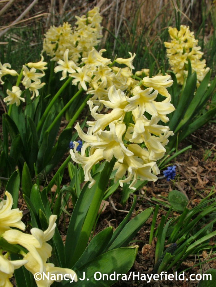 Hyacinthus orientalis 'Yellow Queen' at Hayefield.com