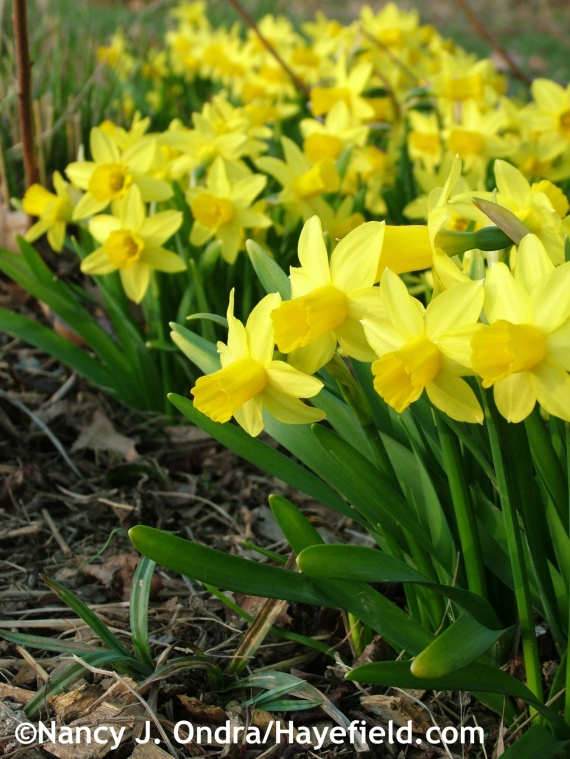 Narcissus 'Tete-a-Tete' at Hayefield.com