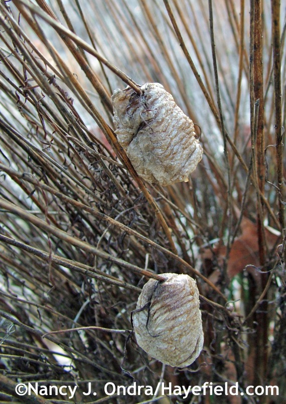 Praying mantis egg cases on Vernonia lettermannii stems at Hayefield.com