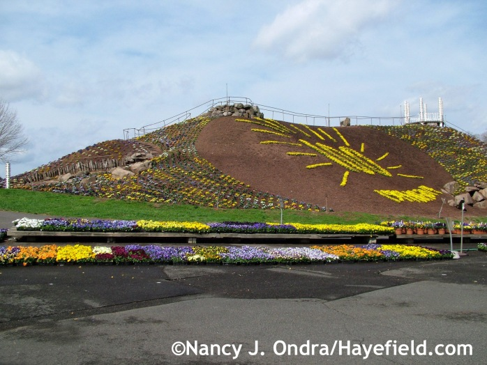Pansy Mountain at Ott's Exotic Plants in Schwenksville, PA mid-April 2014