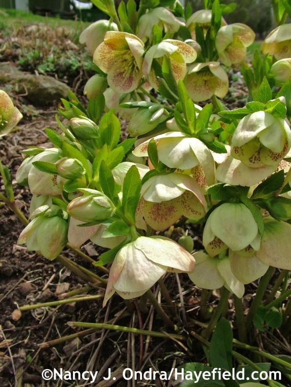 Helleborus x hybridus Hayefield Hybrids at Hayefield.com