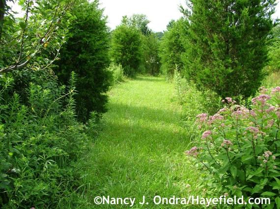 Juniperus virginiana allee at Hayefield.com