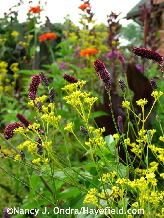 Patrinia scabiosifolia with Sanguisorba tenuifolia 'Purpurea', Zinnia elegans 'Orange King', and Canna 'Australia' at Hayefield.com