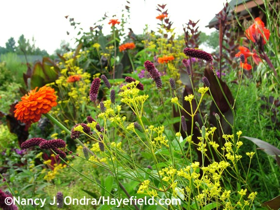 Patrinia scabiosifolia with Sanguisorba tenuifolia 'Purpurea', Zinnia elegans 'Orange King', and Canna 'Australia' at Hayefield.com
