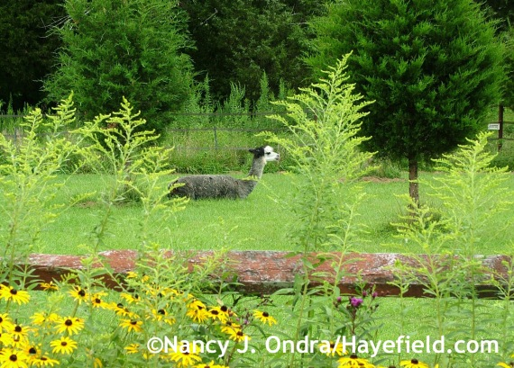Duncan framed by Solidago and Juniperus viginiana at Hayefield.com