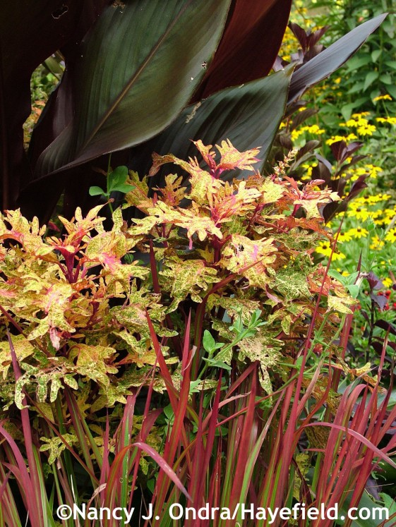 Solenostemon scutellarioides 'Limon Blush' (coleus) with Imperata cylindrica 'Rubra' and Canna 'Australia' at Hayefield.com