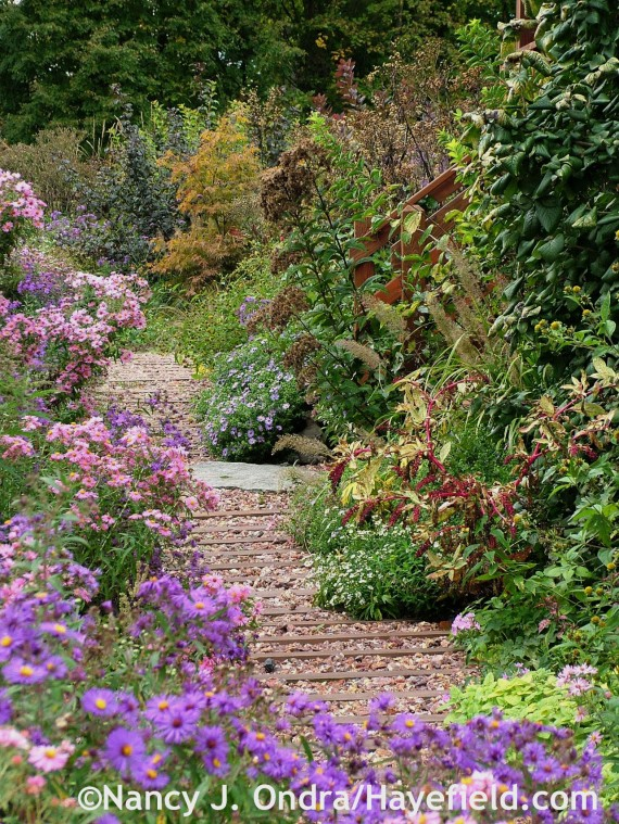 Side-garden path framed by Symphyotrichum novae-angliae 'Hella Lacy' and 'Harrington's Pink' at Hayefield.com