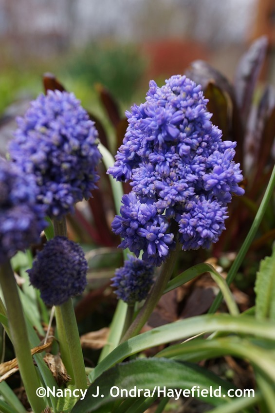 'Blue Spike' grape hyacinth (Muscari armeniacum) at Hayefield.com