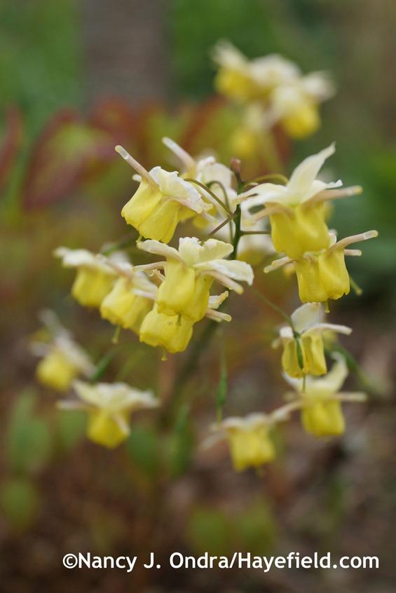 Epimedium x versicolor 'Sulphureum' at Hayefield.com