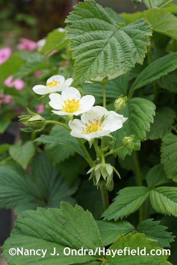 'White Pine' strawberry (Fragaria x ananassa) at Hayefield.com