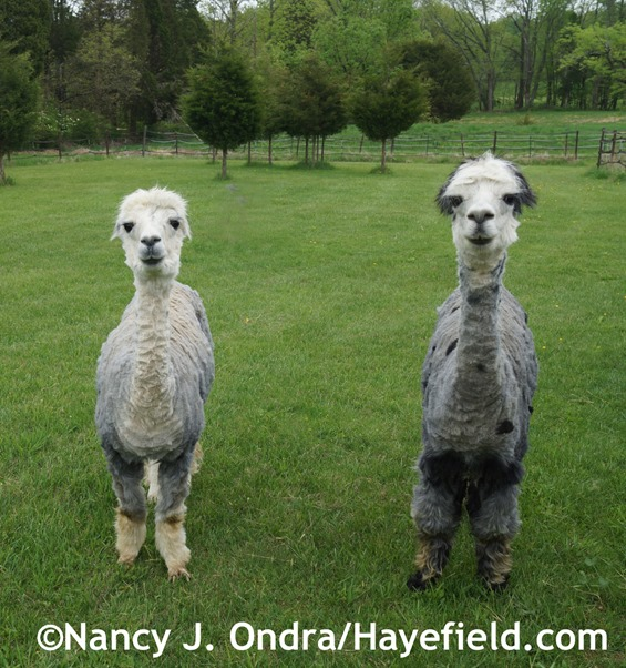 Alpacas Duncan and Daniel after Shearing at Hayefield.com