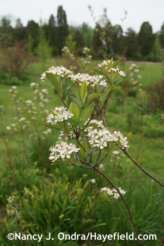 Red chokeberry (Aronia arbutifolia) at Hayefield.com