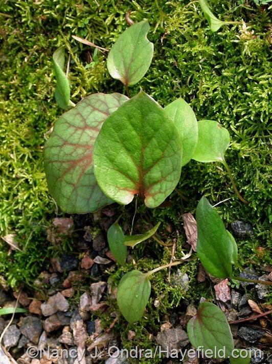 Cardiocrinum cordatum seedlings at Hayefield.com