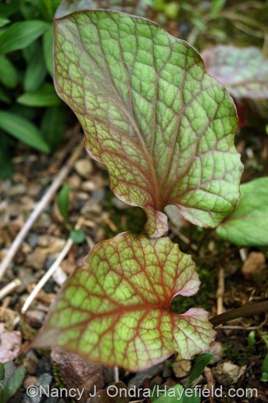 Cardiocrinum cordatum at Hayefield.com