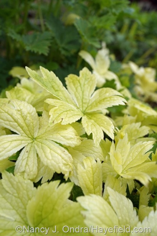 Astrantia major seedling from 'Sunningdale Variegated' at Hayefield.com