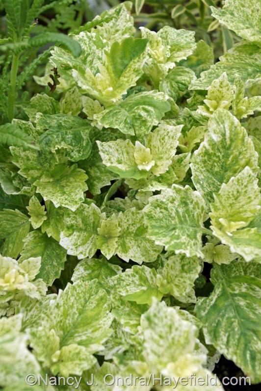 Calamintha grandiflora 'Variegata' at Hayefield.com