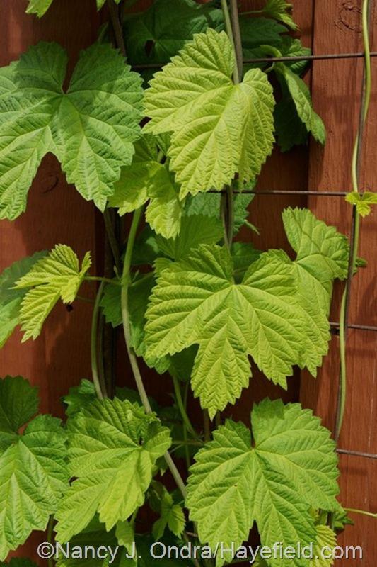 Humulus lupulus 'Aureus' at Hayefield.com