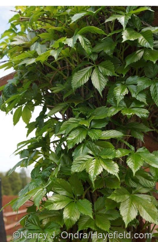 New growth on Virginia creeper (Parthenocissus quinquefolia) at Hayefield.com