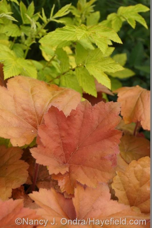 'Southern Comfort' heuchera against golden meadowsweet (Filipendula ulmaria 'Aurea') at Hayefield.com