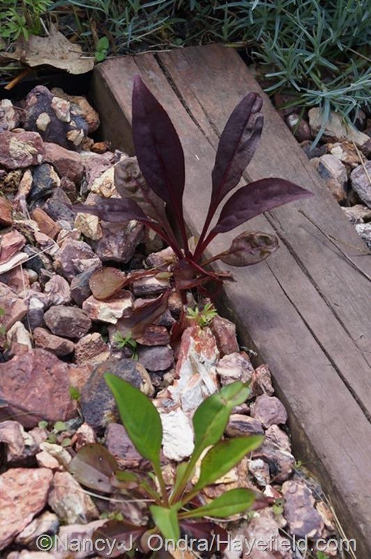 Seedlings from Penstemon 'Dark Towers' at Hayefield.com